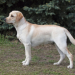 Goldador Dog Amazing Facts, Puppies & Price  you should know