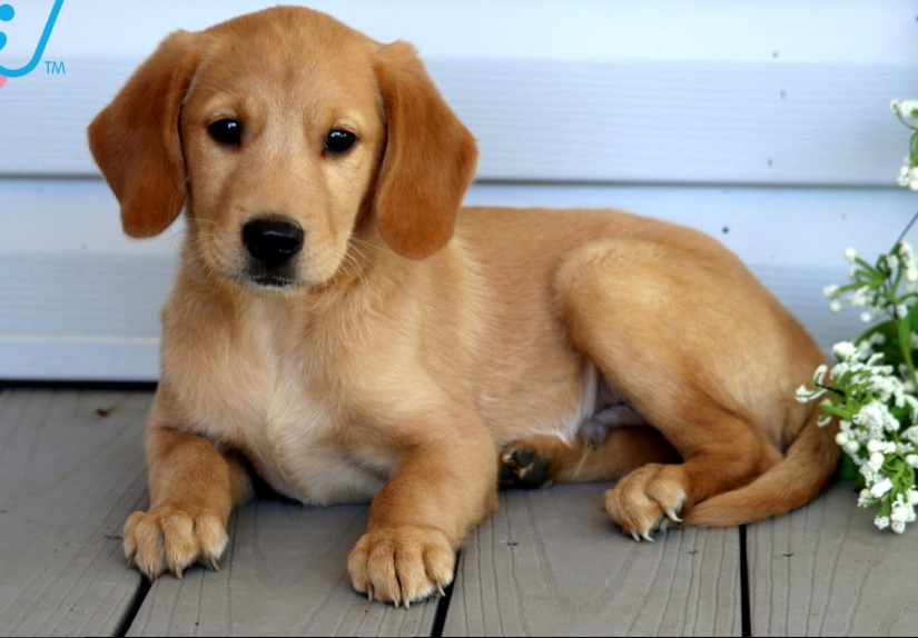 Goldador Dog Amazing Facts, Puppies & Price| you should know