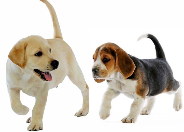 """""""Beagle Lab Mix"""" dog Amazing Facts"""