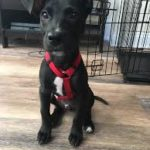 Great Dane Mix with Labrador Breed Puppies Facts