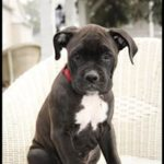 Boxador dog Puppy  breed facts, pictures & Price