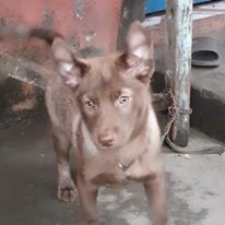 """""""Labrador mix with Husky"""" Puppies Facts, Pictures & price"""