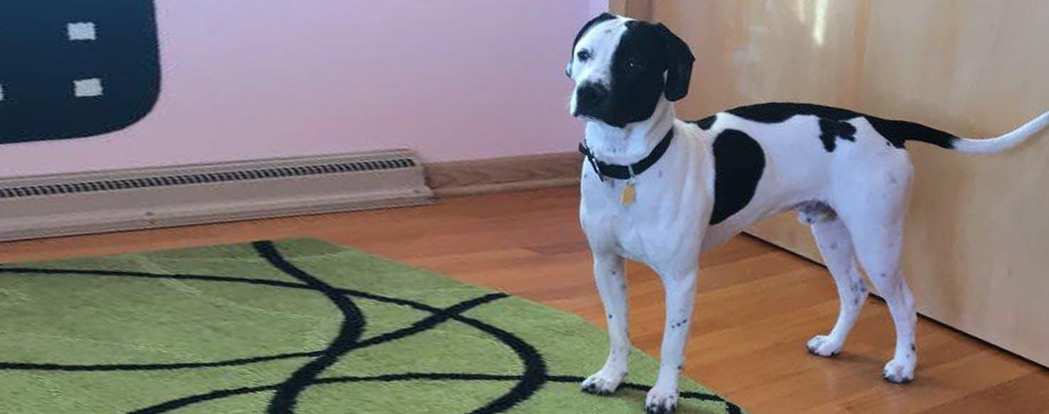 Bullador| Labrador retriever & Bulldog Mix Dog Breed