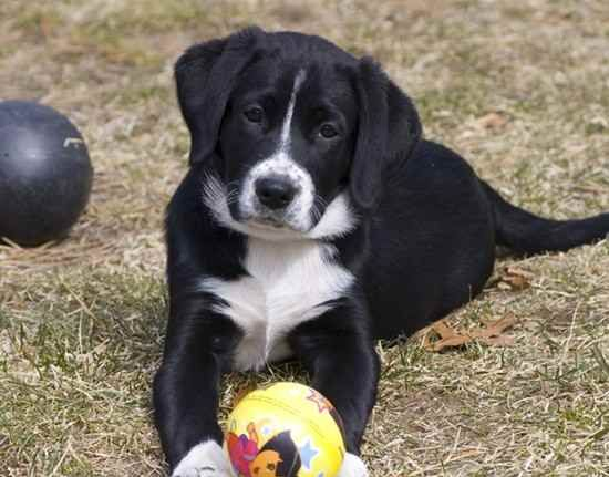Border Collie Lab Mix, Borador dog