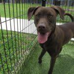 """German Sheprador"" Puppies Pure Breed Adoption facts"
