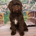 """Labradoodle Mini Puppy"" Adoption & Guideline Facts"