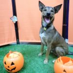 """German Sheprador"" Puppies Pure Breed Adoption facts"