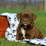 Bullador| Labrador retriever & Bulldog Mix Dog Breed