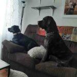 Labrador Saint Bernard Mix Dog | Labernard You Always Wanted