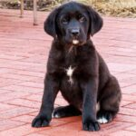 """Labrador Pitbull Mix"" Breeds' Facts & Puppy Pictures"