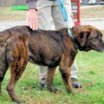 Miniature Rottweiler, Full Grown Mini Rottie Types & Price