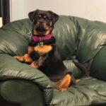 Rottweiler Lab Mix: Rottador dog Facts
