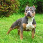Rottweiler Pitbull Mix – A Complete Guide about Pitweiler