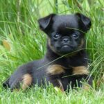 Miniature Rottweiler, Full Grown Mini Rottie Types & Price