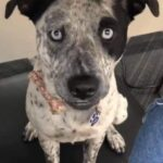 Labraheeler | A Complete Guide about Blue Heeler Lab Mix
