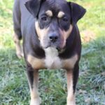 American Bulldog Rottie Mix Puppies| American Bullweiler